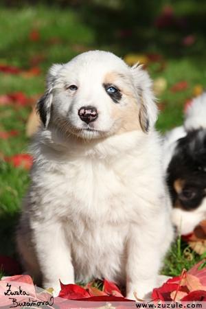 Psi Testy Na Ufonek Maly Pejsci L4